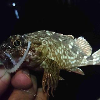 メバルのような魚