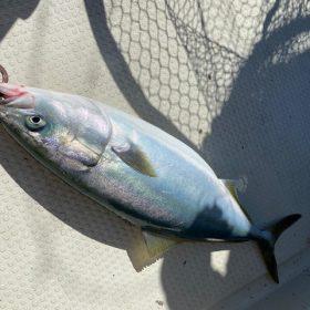 間人沖で青物と根魚